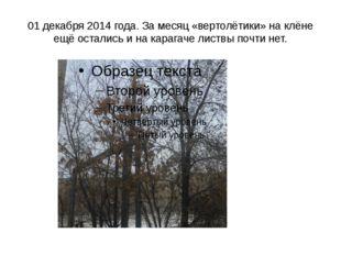 01 декабря 2014 года. За месяц «вертолётики» на клёне ещё остались и на караг