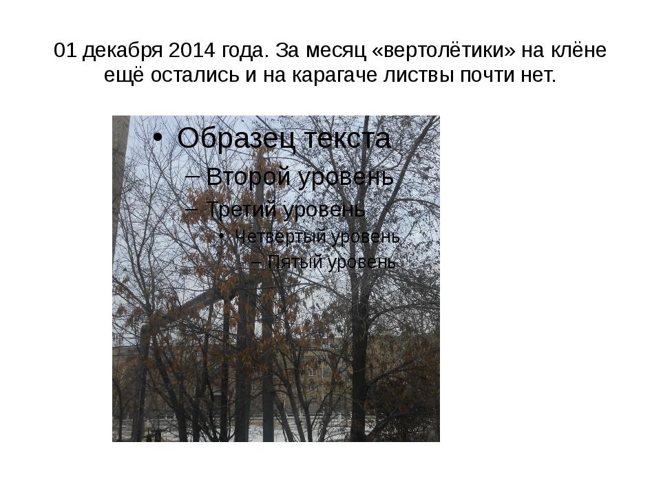 01 декабря 2014 года. За месяц «вертолётики» на клёне ещё остались и на караг...