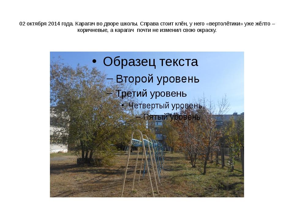 02 октября 2014 года. Карагач во дворе школы. Справа стоит клён, у него «вер...