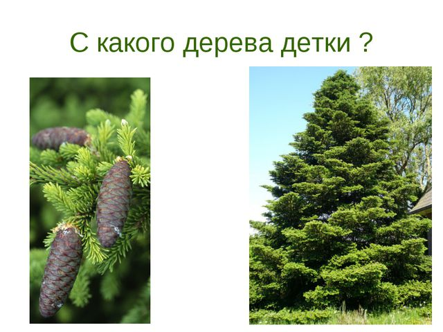 С какого дерева детки ?
