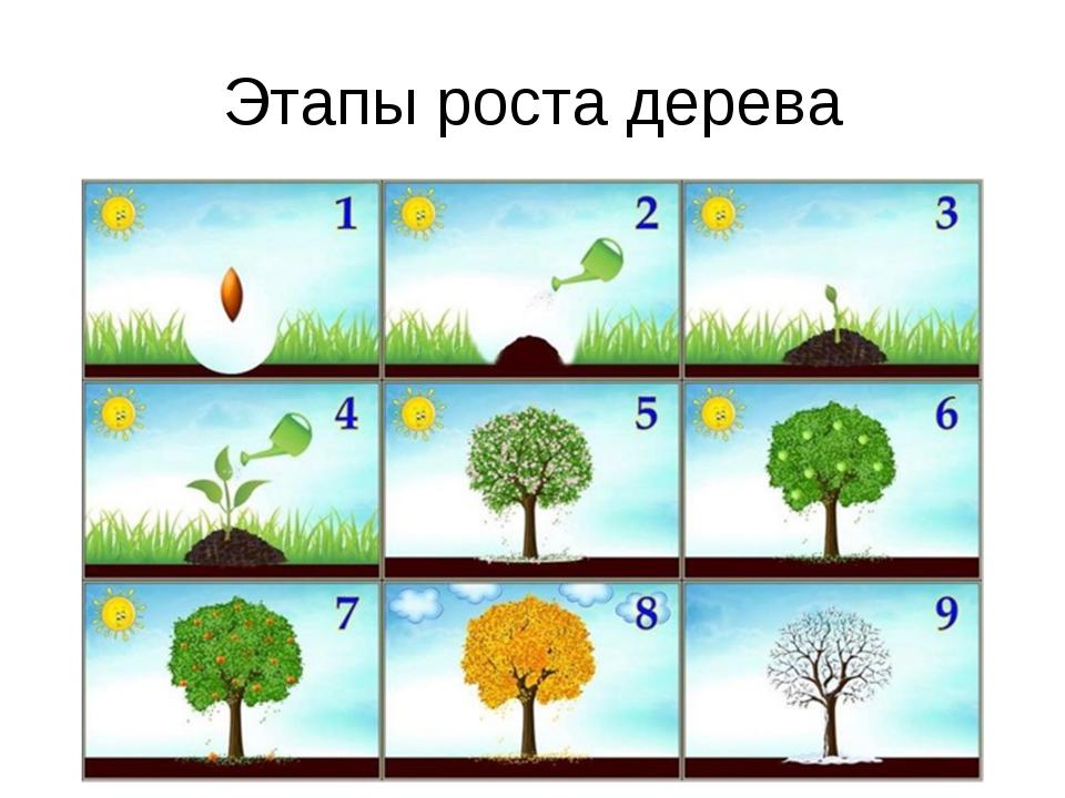 Этапы роста дерева