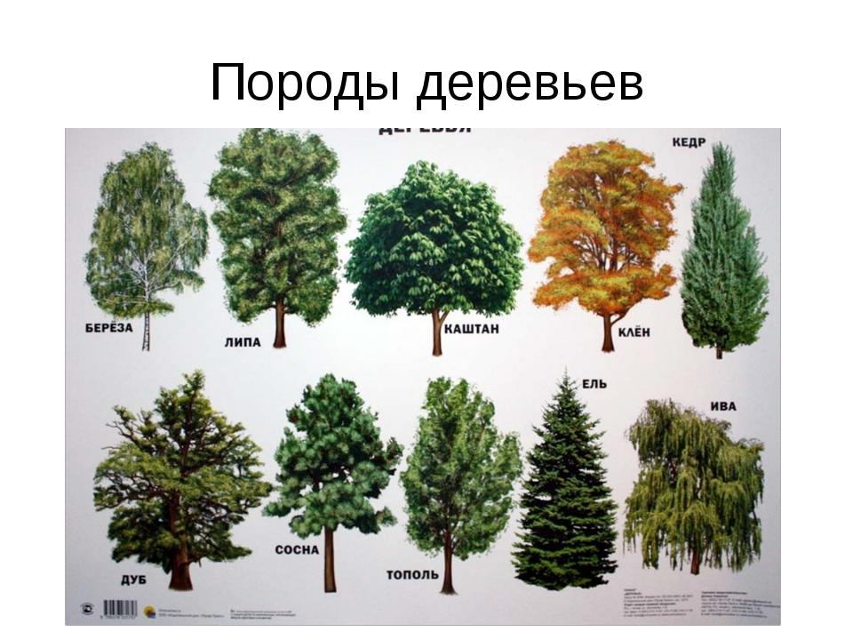 Породы деревьев