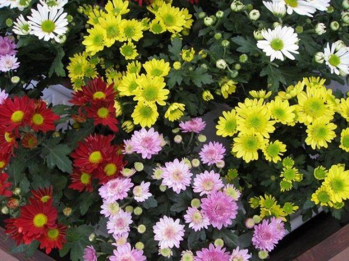 Хризантемы: 20 грн. - Садовые растения в Луганске на Slando