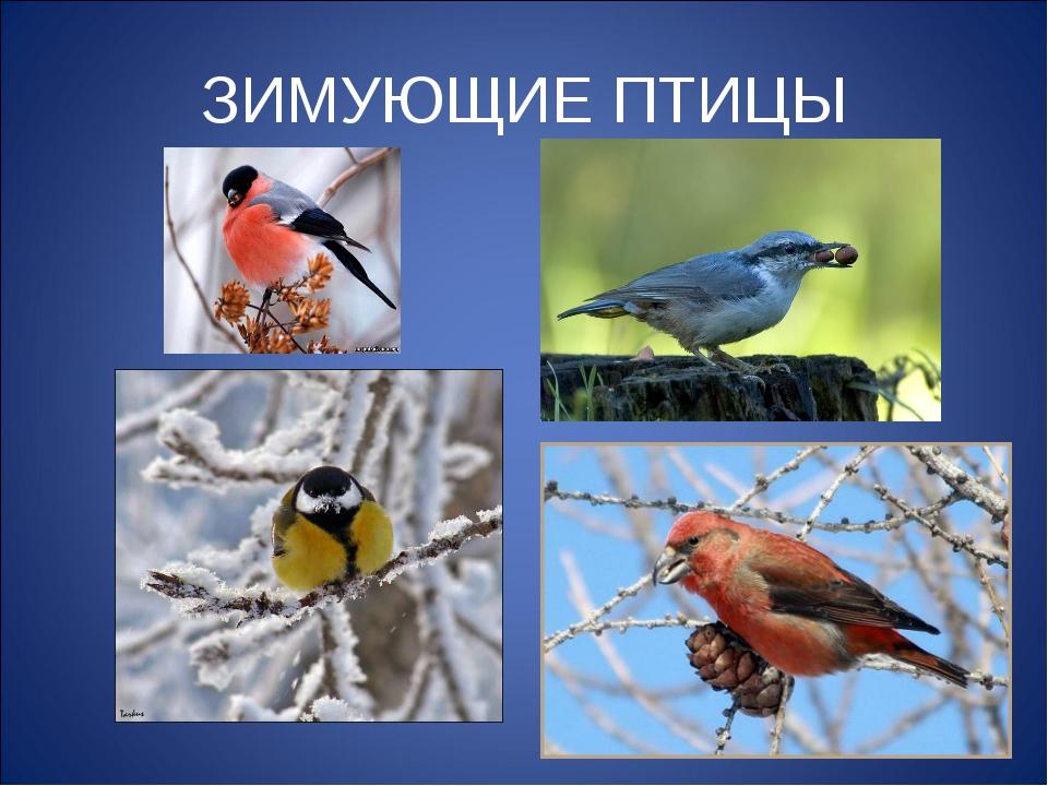 знакомство с видами зимующих птиц