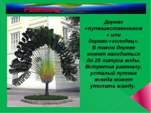 .  Дерево «путешественников» или дерево-«колодец». В таком дереве может нахо