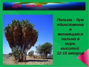 Пальма – дум единственная ветвящаяся пальма в мире, высотой 12-15 метров Дум