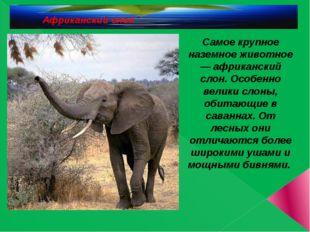 Африканский слон Самое крупное наземное животное — африканский слон. Особенн