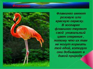 Фламинго Фламинго имеют розовую или красную окраску. В зоопарке фламинго тер