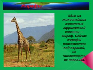 Жирафы Одно из типичнейших животных африканской саванны — жираф. Сейчас жира