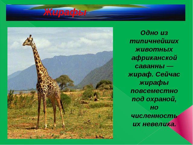 Жирафы Одно из типичнейших животных африканской саванны — жираф. Сейчас жира...