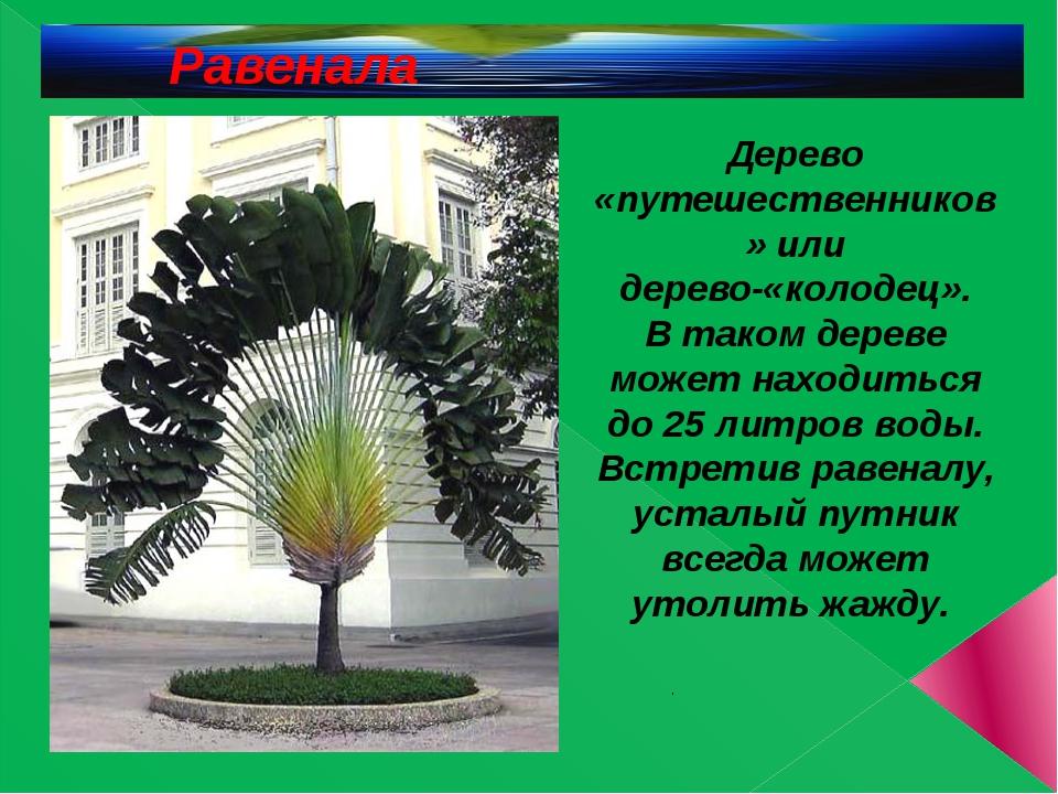.  Дерево «путешественников» или дерево-«колодец». В таком дереве может нахо...