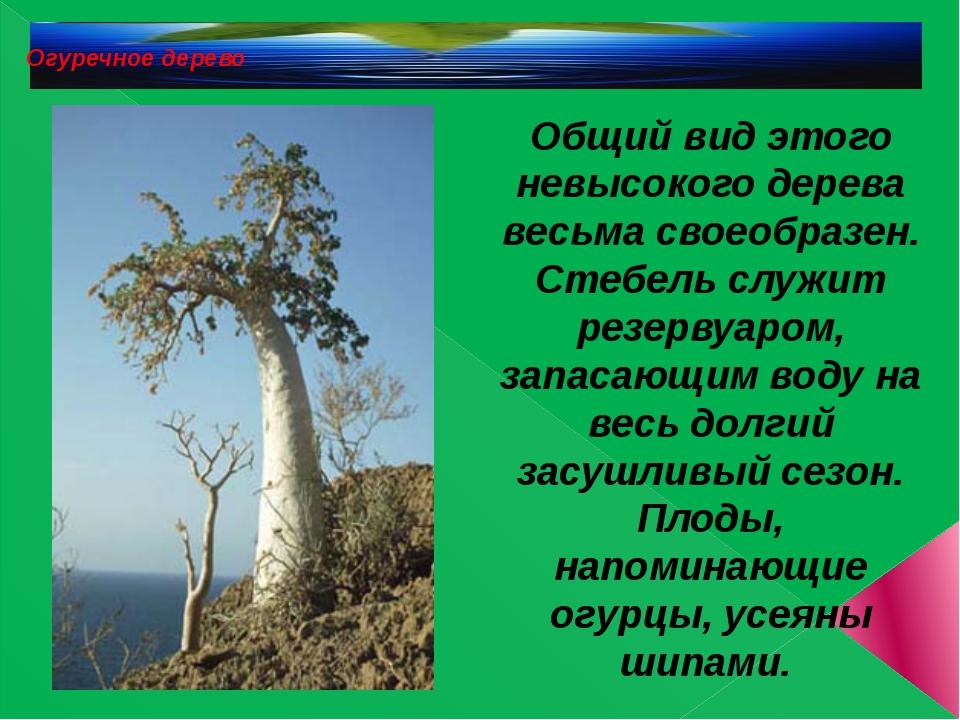 Огуречное дерево Общий вид этого невысокого дерева весьма своеобразен. Стебе...