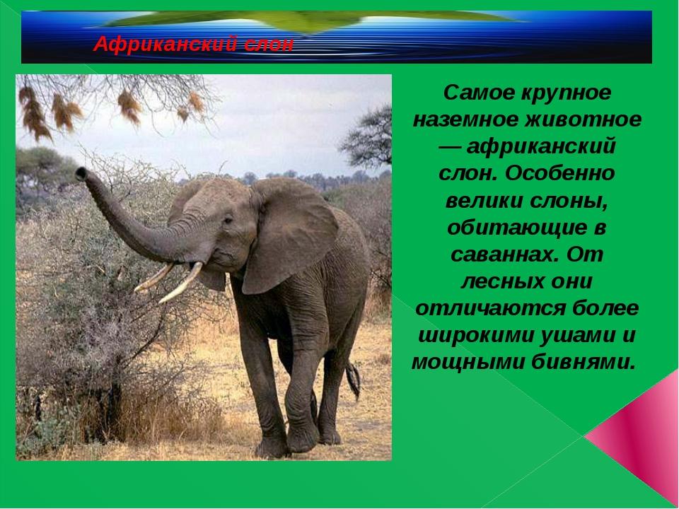Африканский слон Самое крупное наземное животное — африканский слон. Особенн...