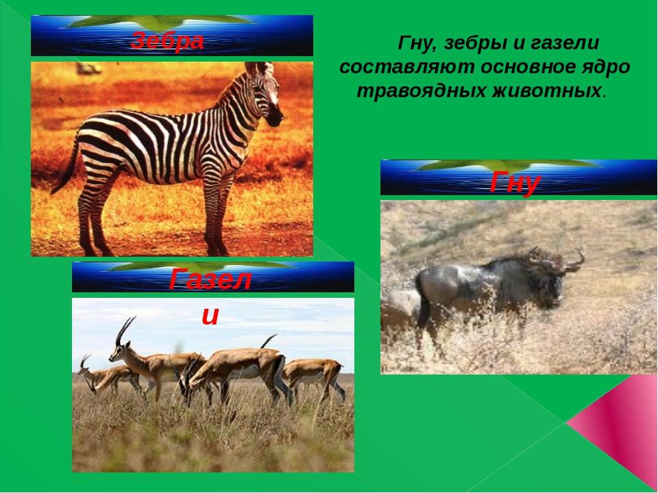 Зебра Гну, зебры и газели составляют основное ядро травоядных животных. Гну...