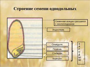 Строение семени однодольных Семенная кожура сросшаяся с околоплодником Эндосп