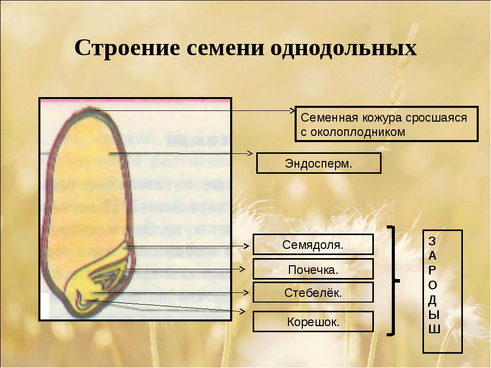 Строение семени однодольных Семенная кожура сросшаяся с околоплодником Эндосп...