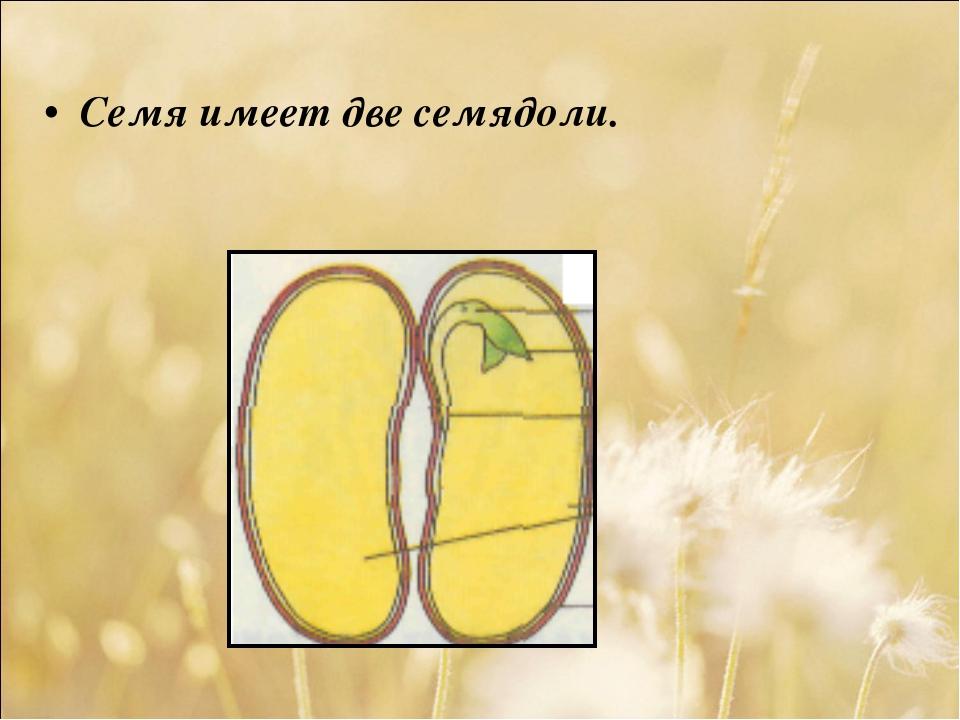 Семя имеет две семядоли.