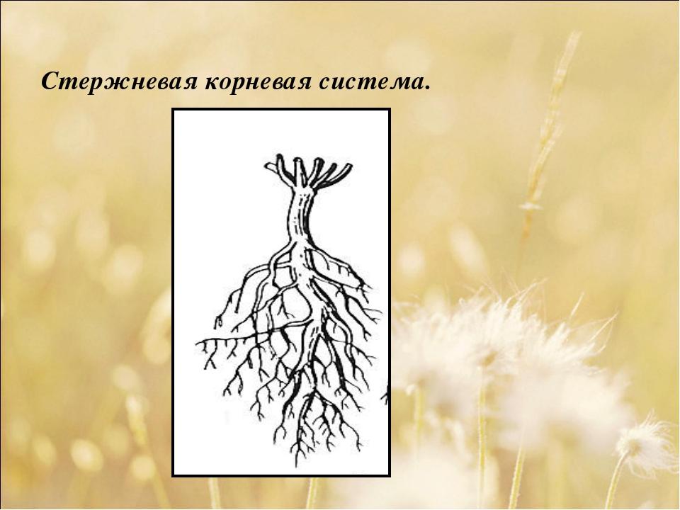 Стержневая корневая система.