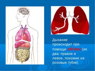 Дыхание происходит при помощи лёгких (их два: правое и левое, похожие на розо