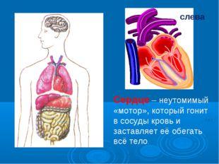 слева Сердце – неутомимый «мотор», который гонит в сосуды кровь и заставляет