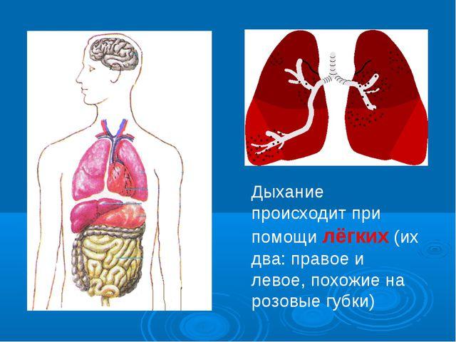 Дыхание происходит при помощи лёгких (их два: правое и левое, похожие на розо...