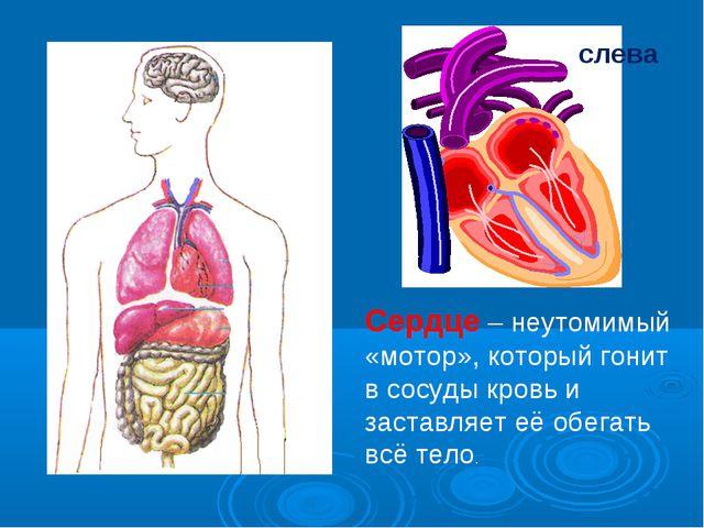 слева Сердце – неутомимый «мотор», который гонит в сосуды кровь и заставляет...