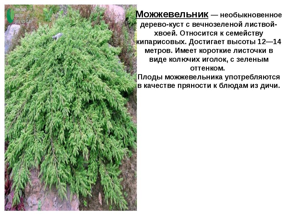 почему разновидности можжевельника описание и фото овощного