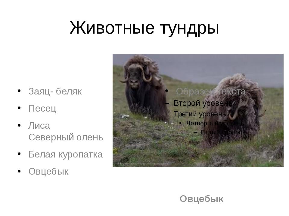 Животные тундры Заяц- беляк Песец Лиса Северный олень Белая куропатка Овцебык...