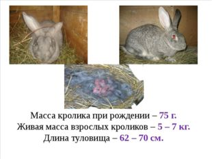 Масса кролика при рождении – 75 г. Живая масса взрослых кроликов – 5 – 7 кг.