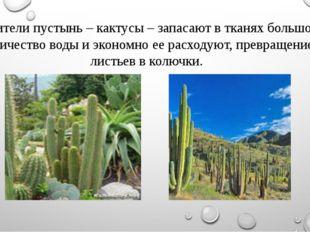 - Жители пустынь – кактусы – запасают в тканях большое количество воды и экон