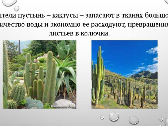 - Жители пустынь – кактусы – запасают в тканях большое количество воды и экон...