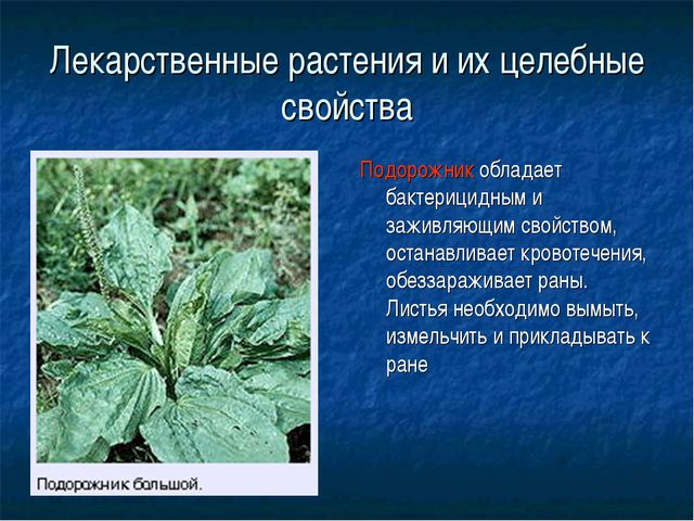 Лекарственные растения и их целебные свойства Подорожник обладает бактерицидн...