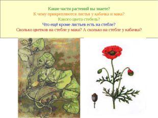 Какие части растений вы знаете? К чему прикрепляются листья у кабачка и мака?