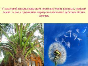 У кокосовой пальмы вырастает несколько очень крупных, тяжёлых семян. А вот у