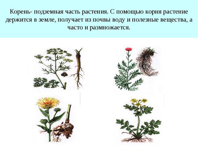 Корень- подземная часть растения. С помощью корня растение держится в земле,...