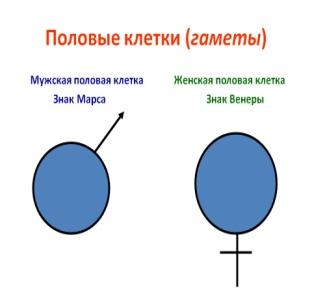 C:\Documents and Settings\Алиюшка\Мои документы\Downloads\0006-006-Polovye-kletki-gamety.jpg