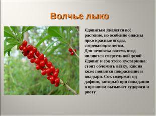 Волчье лыко Ядовитым является всё растение, но особенно опасны ярко красные я