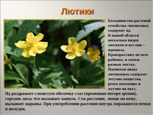Лютики Большинство растений семейства лютиковых содержит яд. В нашей области