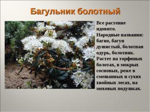 Багульник болотный Все растение ядовито. Народные названия: багно, багун души