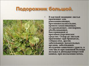 В научной медицине листья применяют как ранозаживляющее, противовоспалительно