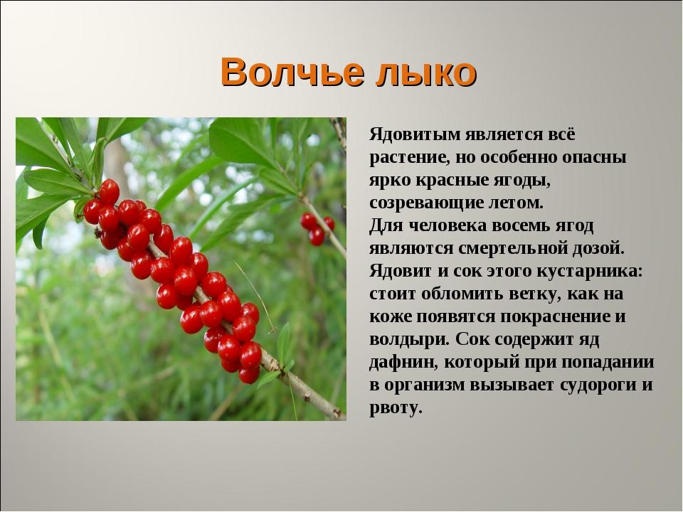 Волчье лыко Ядовитым является всё растение, но особенно опасны ярко красные я...