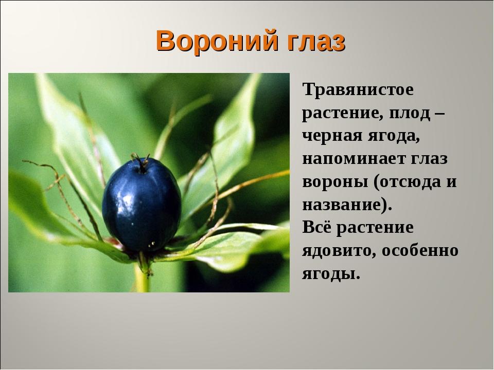 Вороний глаз Травянистое растение, плод – черная ягода, напоминает глаз ворон...