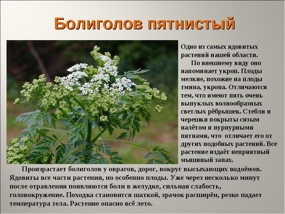 Болиголов пятнистый Одно из самых ядовитых растений нашей области. По внешнем...