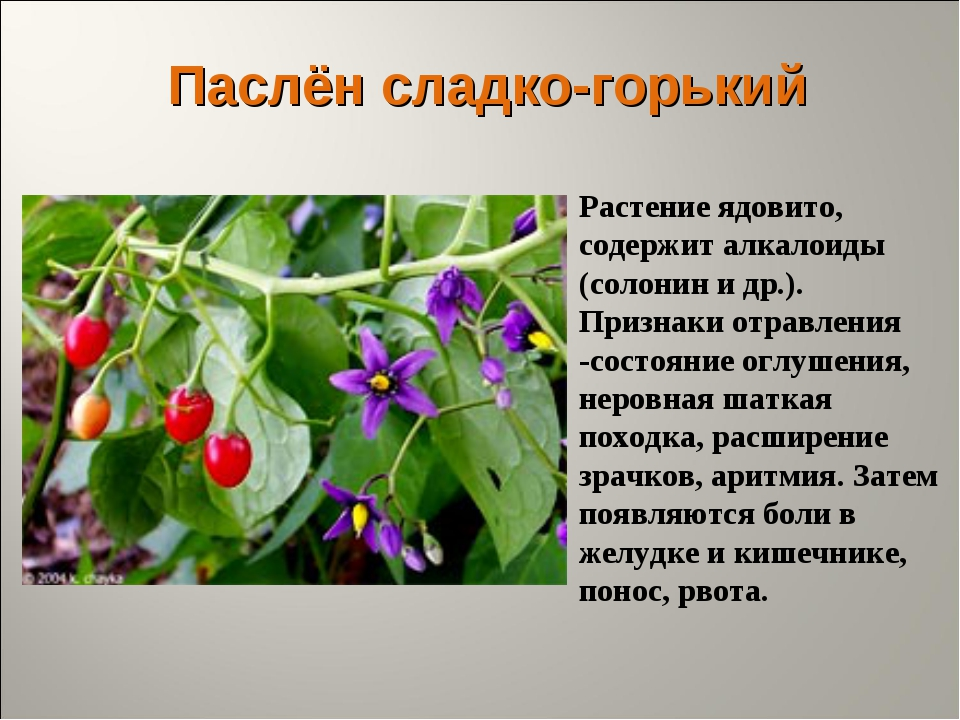 Паслён сладко-горький Растение ядовито, содержит алкалоиды (солонин и др.). П...