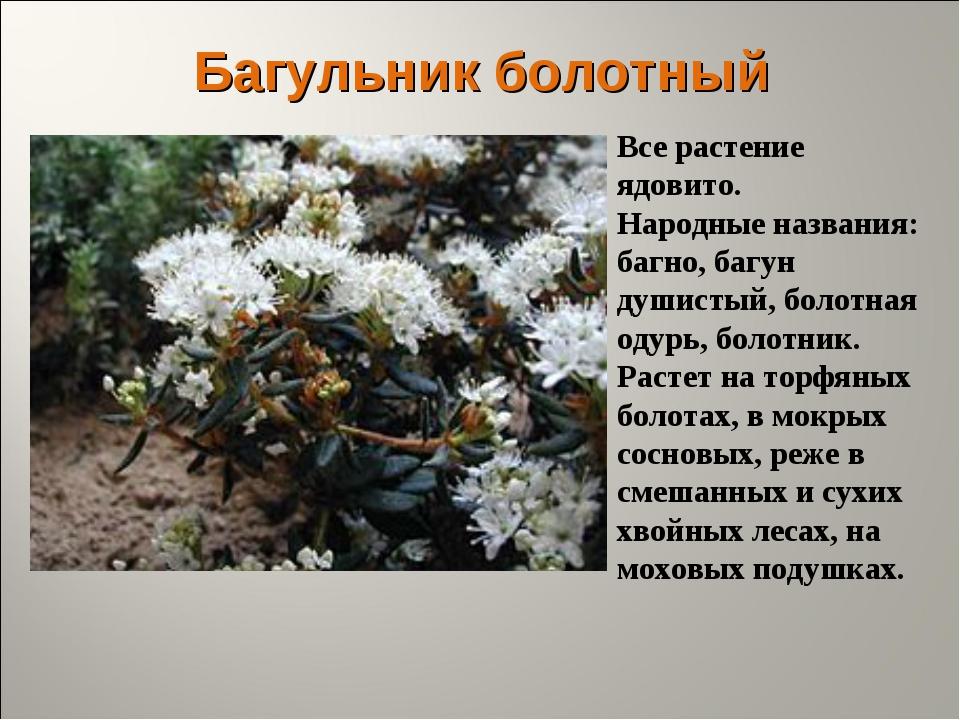 Багульник болотный Все растение ядовито. Народные названия: багно, багун души...