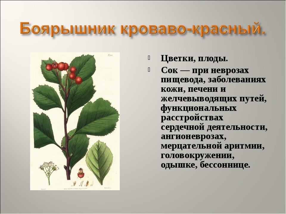 Цветки, плоды. Сок — при неврозах пищевода, заболеваниях кожи, печени и желче...