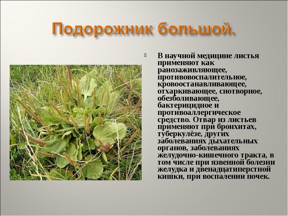 В научной медицине листья применяют как ранозаживляющее, противовоспалительно...
