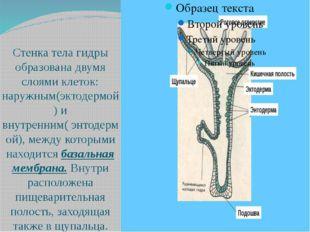 Стенка тела гидры образована двумя слоями клеток: наружным(эктодермой) и вну