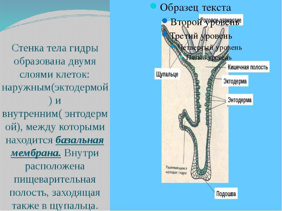 Стенка тела гидры образована двумя слоями клеток: наружным(эктодермой) и вну...
