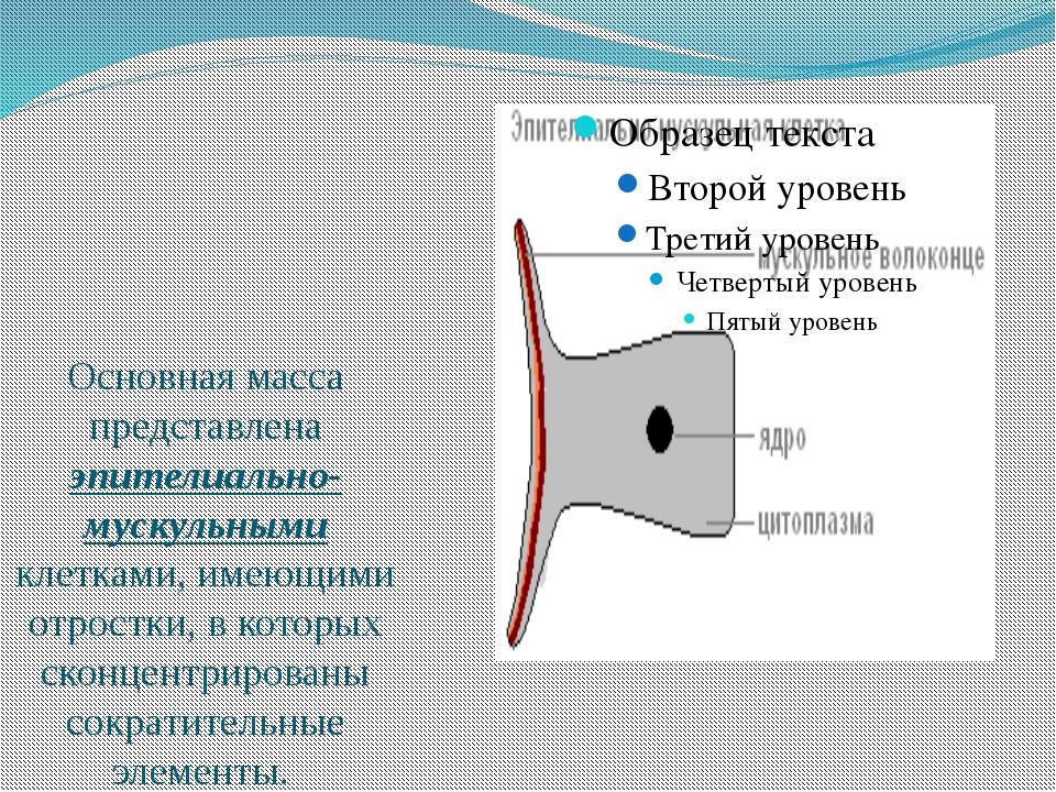 Основная масса представлена эпителиально-мускульными клетками, имеющими отро...